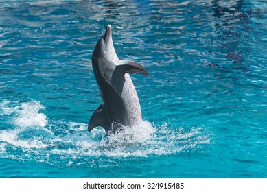 playful dolphin leaps out of the water and poses, rich azure water in the pool