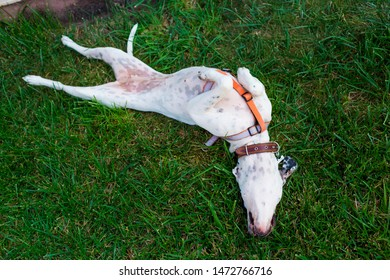 Playful domestic Pointer mixed with Dalmatian dog lying on the lawn lies belly to the top