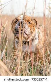 Playful English bulldog in the orange grass,selective focus