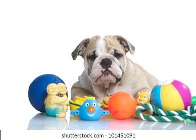 Playful english bulldog puppy with dog toys isolated