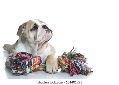 Playful english bulldog puppy with a toy rope isolated