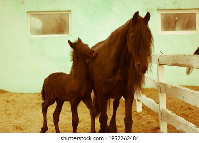 A playful foal with an mother horse in a pasture. A little horse is running near his mother at the racetrack. Farm animals in a corral. A warm cinematic background.