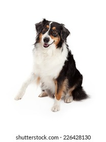 A playful and friendly Australian Shepherd Dog offers a paw.