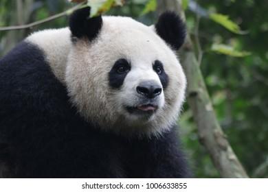 Playful Giant Panda in Panda Valley, Dujiangyan, China