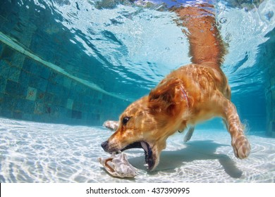 Playful golden retriever labrador puppy in swimming pool has fun - dog jump and dive underwater to retrieve shell. Training and active games with family pets and popular dog breeds on summer holiday.