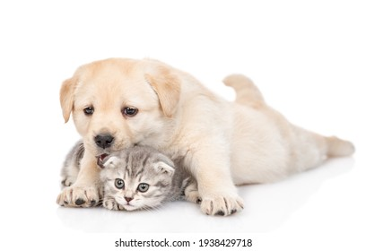 Playful Golden retriever puppy hugs a tiny tabby kitten. isolated on white background