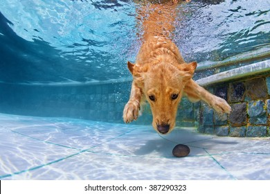 Playful golden retriever puppy in swimming pool has fun - jumping and diving deep down underwater to retrieve stone. Training and active games with family pets and popular dog breeds on summer holiday