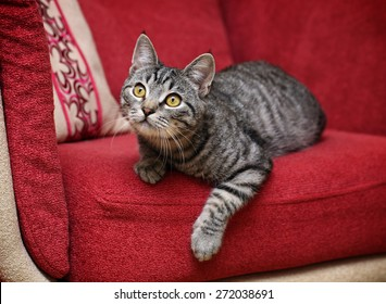 Playful gray kitten on a red sofa