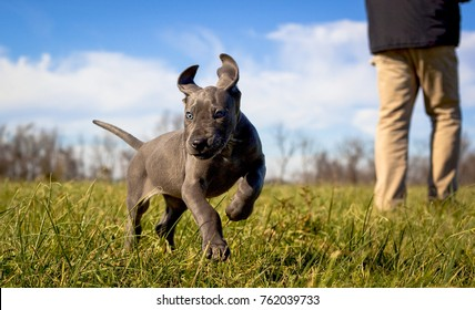 A playful great Dane puppy frolics in grass with its owner standing in the background