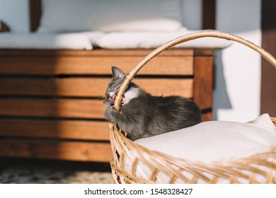 Playful grey kitty with white spots lying on a pillow in a basket and gnaws handle of pannier. Growing up curious kitten. Lack of education of a pussycat. Cat teeth. Selective focus on feline.
