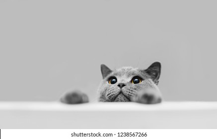 Playful grey purebred cat peeking out. British shorthair cat. Domestic animal.