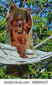 playful, hairy,  young orangutan playing peek-a-boo