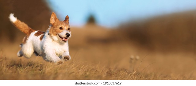 Playful happy cute smiling pet dog puppy running, jumping in the grass. Web banner. - Shutterstock ID 1910337619