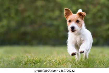 Spielender Hundehund mit lustigen Ohren