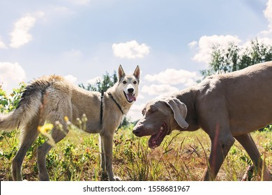 Playful happy laika and Weimaraner dogs having fun and playing together in park