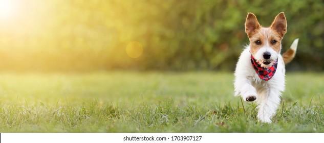 Spielerisch glücklich lächelnde lustige, süße Hunde Welpe laufen im Gras, Sommerkonzept. Webbanner, Kopienraum.