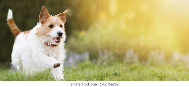 Playful happy smiling pet dog running in the grass and listening with funny ears. Banner, copy space.