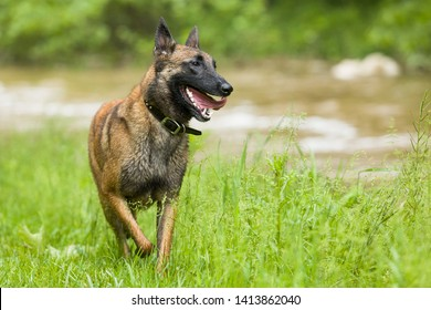 Playful happy wet Belgian Malinois shepherd dog running outside in grassy meadow by creek.
