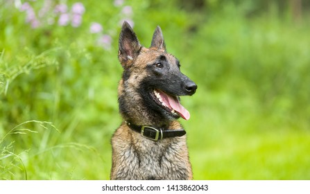 Playful happy wet Belgian Malinois shepherd dog sitting outside in grassy summer meadow with wildflowers