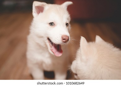 Playful husky puppy, portrait