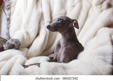 Playful Italian Greyhound