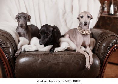 Playful Italian Greyhound on a couch with a chew toy