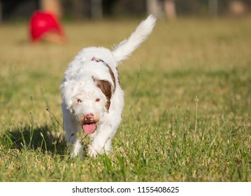Playful JACK RUSSELL TERRIER