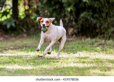 Playful Jack Russell Terrier Dog Playing