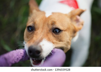 Playful Jack Russell terrier puppy biting purple puller toy with teeth.Cute little dog plays with owner in green park.Playful domestic pet portrait