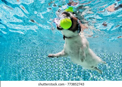 Playful jack russell terrier puppy in swimming pool has fun. Dog jump, dive underwater to fetch ball. Training classes, active games with family pets. Popular canine breeds activity on summer holiday
