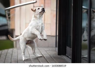playful labrador puppy jumping up outdoors
