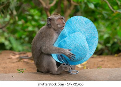 Playful monkey macaque thief with blue female hat stolen from a carefree tourist