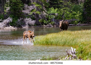 Playful moose calf and watchful moose mother in Glacier National Park