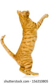 playful orange cat. isolated on white background
