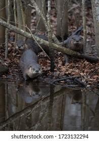 Playful otters alongside a riverbank in Pocosin Wildlife Refuge in North Carolina, USA