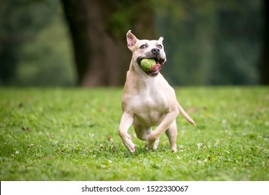 A playful Pit Bull Terrier mixed breed dog running outdoors and holding a ball in its mouth