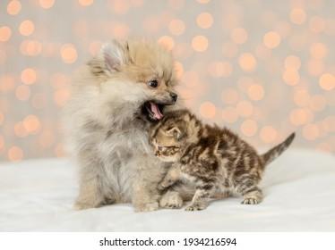 Playful Pomeranian spitz puppy sits with tiny kitten on festive background