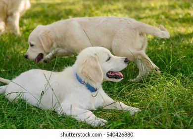 Playful puppies in the forest are discovering everything with curious eyes. One little dog lies on the grass and the other animal smells the ground.