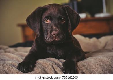 Playful Puppy chocolate Labrador Retriever puppy