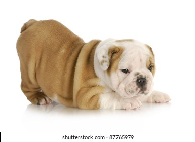 playful puppy - english bulldog puppy with bum in the air - 6 weeks old