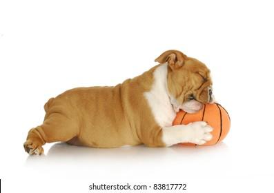 playful puppy - english bulldog playing chewing stuffed basketball on white background - nine weeks old