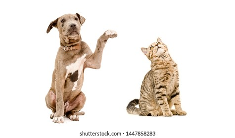Playful puppy pitbull and cat Scottish Straight sitting  together isolated on white background