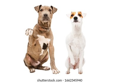 Playful puppy Pitbull and Parson Russell Terrier sitting together isolated on white background