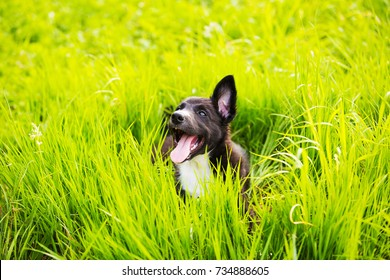 Playful puppy running in a green grass in a city park.Happy playful Border Collie Puppy Sitting in green grass in a city park.