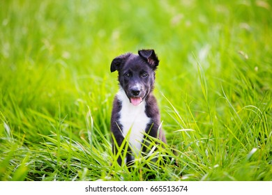 Playful puppy sitting on a green grass in a city park. Border Collie Puppy Sitting on green grass.