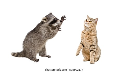 Playful raccoon and curious cat, isolated on white background
