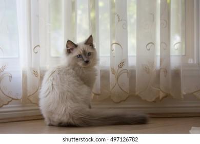 Playful ragdoll kitten