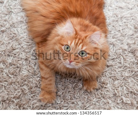 playful red fluffy cat lying on a carpet