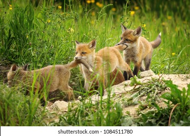 playful red fox cubs ( Vulpes ); young animals near the den, playing while vixen is out to hunt