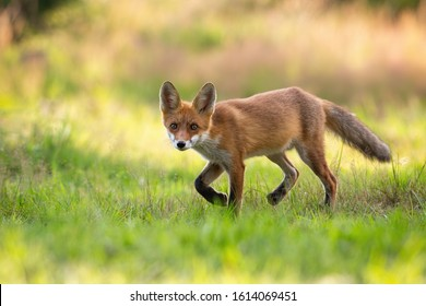 Playful red fox, vulpes vulpes, cub hunting on a green hay field in summer nature. Wild mammal with orange fur and big ears walking slowly with legs in air and facing camera.